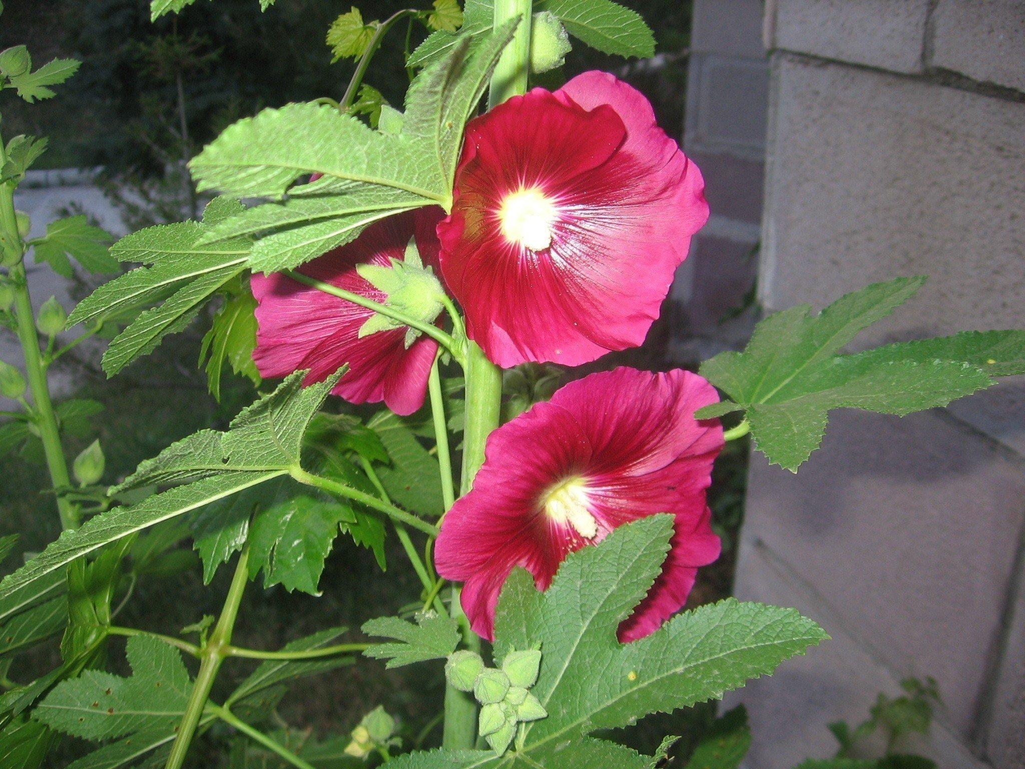 Öksürüğe Karşı Hatmi Çiçeği