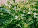 Dağ çayı (kasıkotu, fıtıkotu, kızılyaprak)